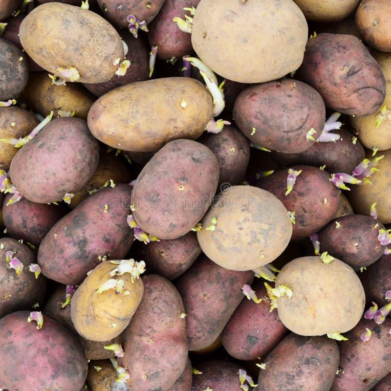Ontkiemde pootaardappelen stock foto
