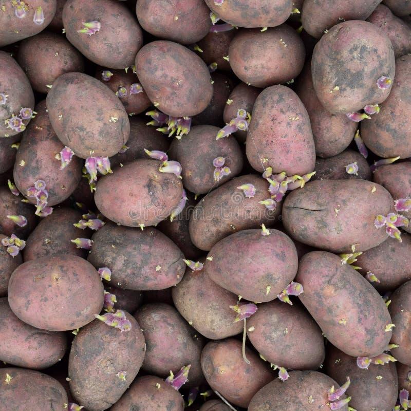 Ontkiemde pootaardappelen stock afbeeldingen