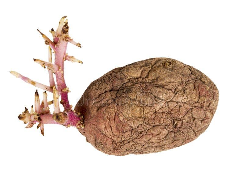 Ontkiemde roze die aardappel op witte achtergrond wordt ge?soleerd stock fotografie