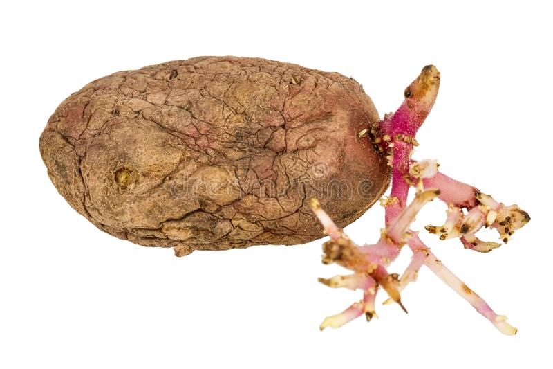 Ontkiemde roze die aardappel op witte achtergrond wordt ge?soleerd royalty-vrije stock foto
