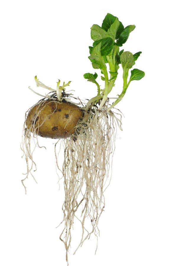 Ontkiemende aardappel royalty-vrije stock afbeeldingen