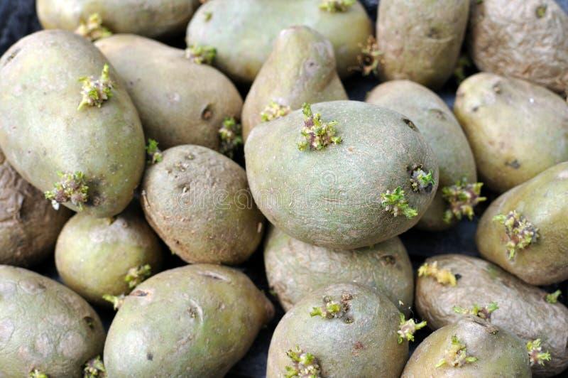 Ontkiemende aardappels royalty-vrije stock afbeeldingen