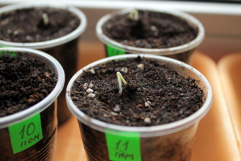 Ontkiemende zaden van tomaat in containers met etiketten close-up stock foto's
