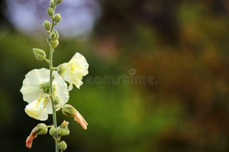 Ontluikende bloem royalty-vrije stock afbeelding
