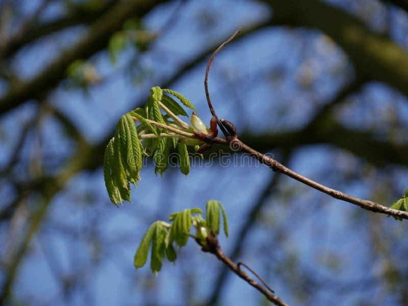 Ontluikende boom in de lente Paardekastanje/Conker-boom royalty-vrije stock foto's