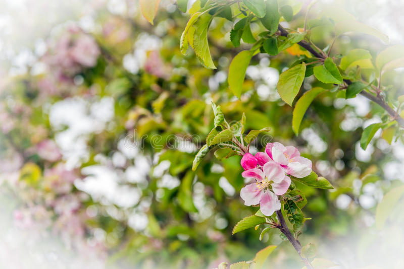 Ontluikende en bloeiende wilde appelbloesems van het sluiten stock foto