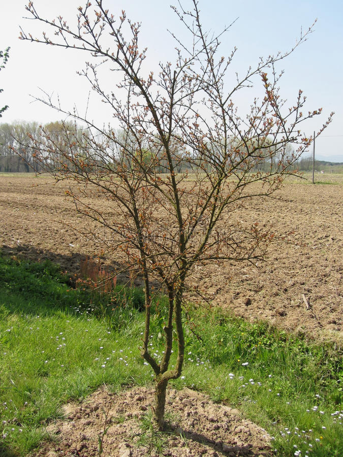 Ontluikende granaatappelboom in de lente stock foto's