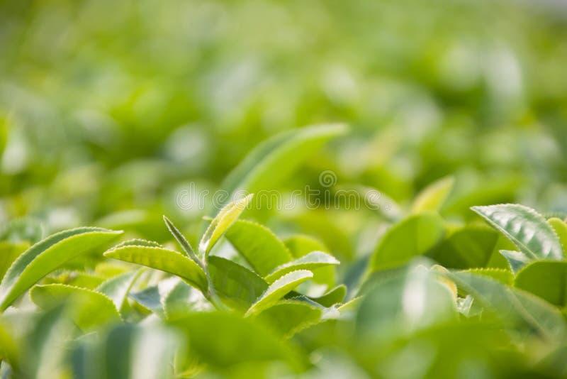 Ontluikende groene thee op het gebied royalty-vrije stock afbeelding