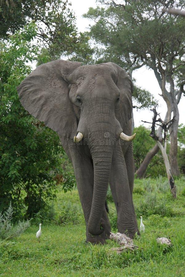 Ontmoet de olifant royalty-vrije stock foto