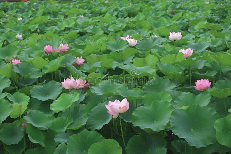 Ontmoet lotusbloem in de zomer stock afbeeldingen
