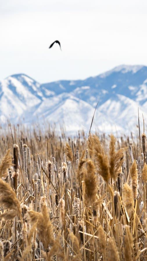 Ontruim Verticale Dichte omhooggaand van lange bruine grassen tegen sneeuw behandelde berg op de achtergrond stock foto