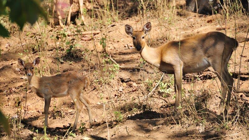 Ontschorsende herten, Moeder en haar jong geitje, in de wildernis royalty-vrije stock fotografie