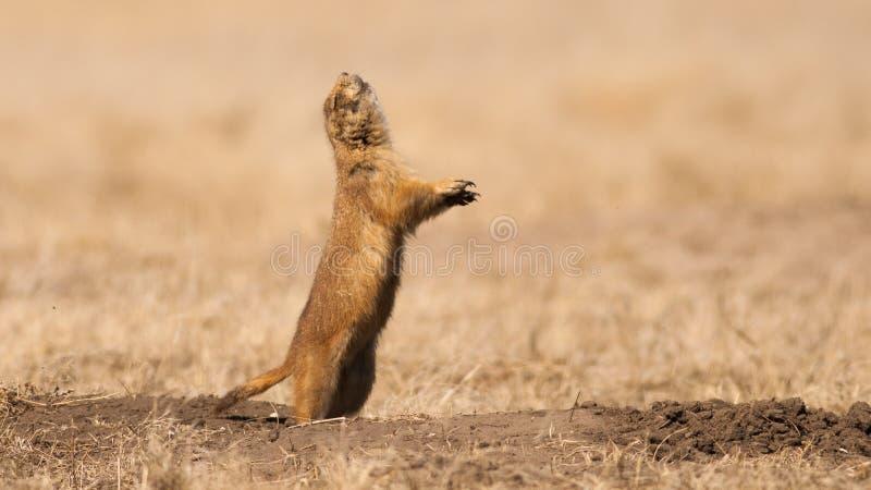 Ontschorsende Prairiehond royalty-vrije stock afbeeldingen