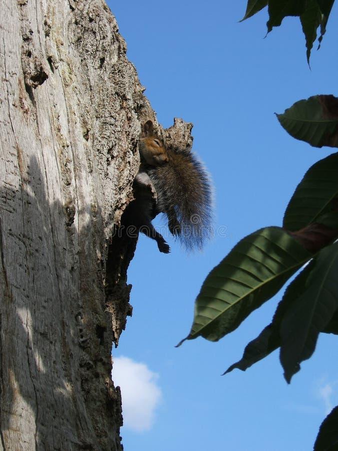 Ontspannend Grey Squirrel in boom met pluizige staart en met de handen in de zij benen stock afbeeldingen