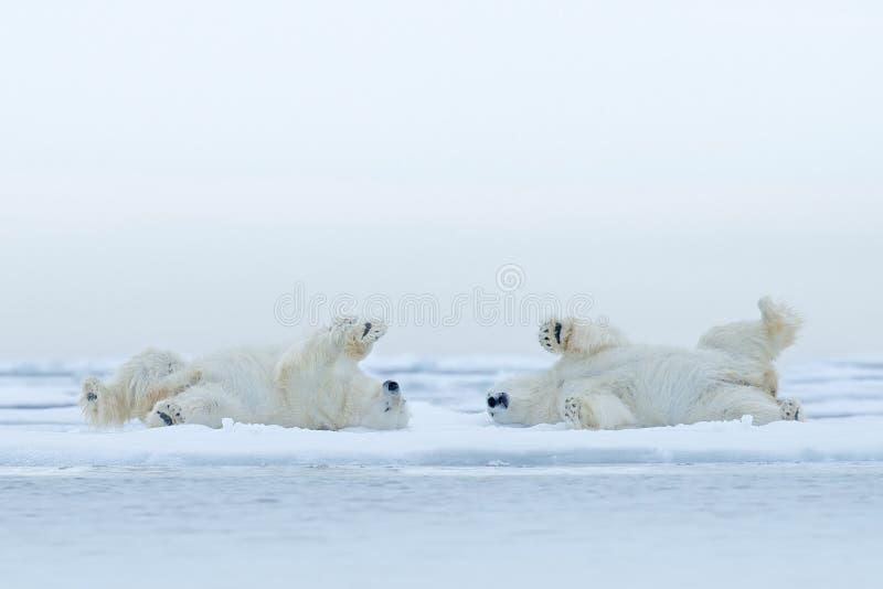 Ontspant ijsbeer twee die op afwijkingsijs met sneeuw, witte dieren in de aardhabitat, Canada liggen stock foto's
