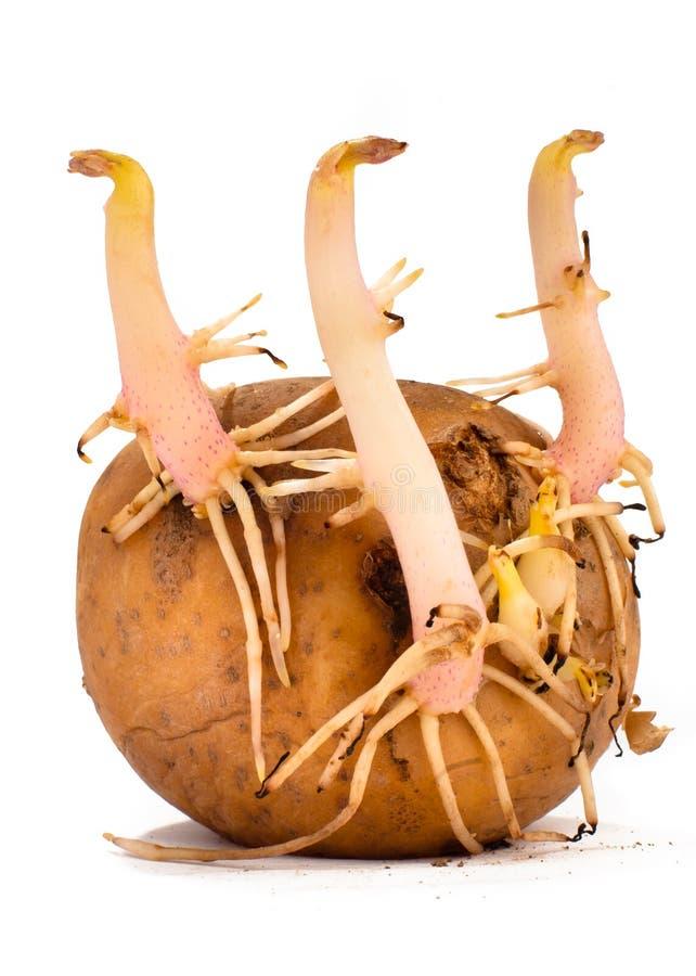 Ontsproten aardappel op witte achtergrond royalty-vrije stock foto