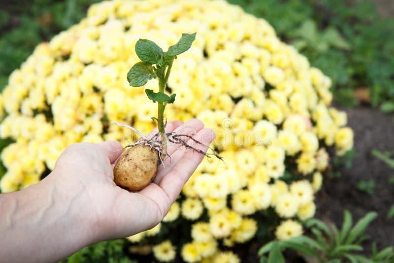 Ontsproten aardappelknol met groene bladeren in de hand van de vrouw stock afbeelding