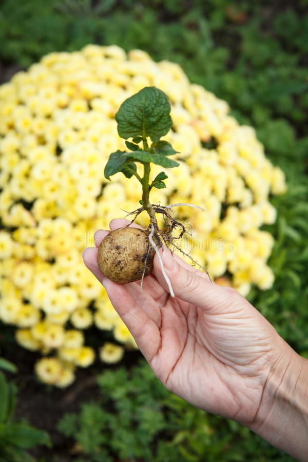 Ontsproten aardappelknol met groene bladeren in de hand van de vrouw stock fotografie