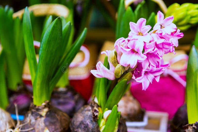 Ontsproten bloembollen in een groene emmer Spruiten klaar voor het planten in de grond royalty-vrije stock fotografie