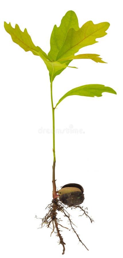 Ontspruit een jonge eiken boom op witte achtergrond royalty-vrije stock foto