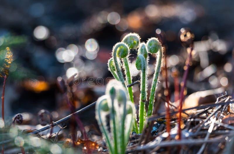 Ontspruitende groene krullen van de wilde varens van de zonovergoten fiddleheadbaby enkel aangezien zij op een bosvloer ontspruit stock afbeelding