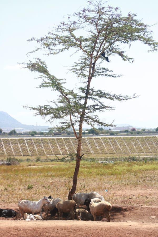 Ontvolking, schapen en geiten die wordt gedwongen om schuilplaats onder de schaduw van een enige boom te nemen royalty-vrije stock afbeeldingen