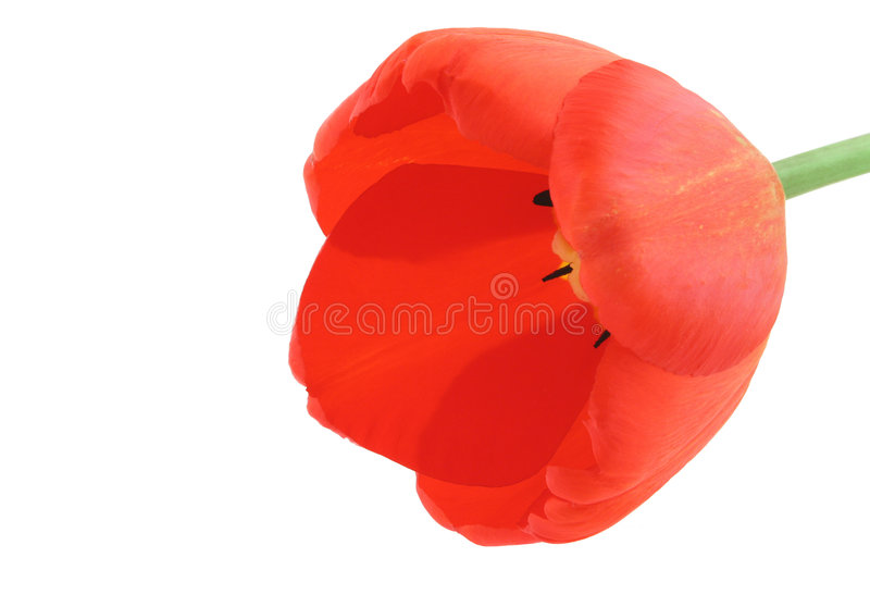 Ontwikkelde tulp op wit stock foto