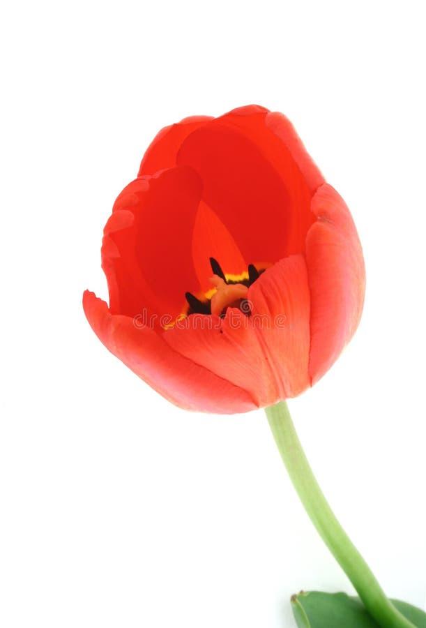 Ontwikkelde tulp op witte #2 stock foto