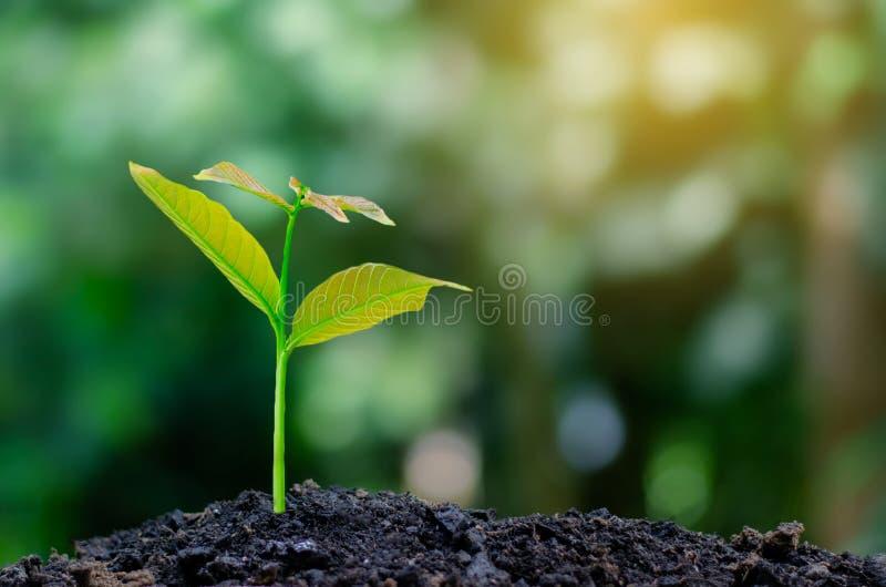 Ontwikkeling van de zaailingsgroei die zaailingenjonge plant in het ochtendlicht planten op aardachtergrond stock foto