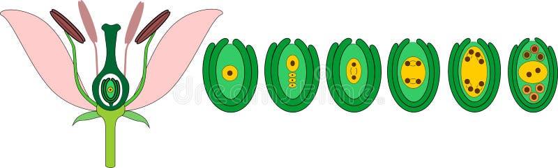 Ontwikkeling van embryozak van megaspore royalty-vrije illustratie
