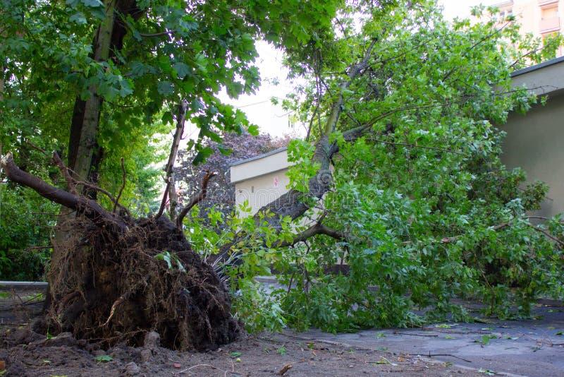 Ontwortelde boom die door wind na onweer wordt beschadigd stock fotografie