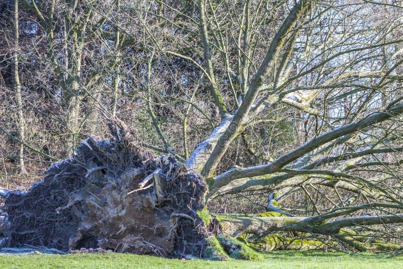 Ontwortelde boom in een Park in Duitsland stock foto