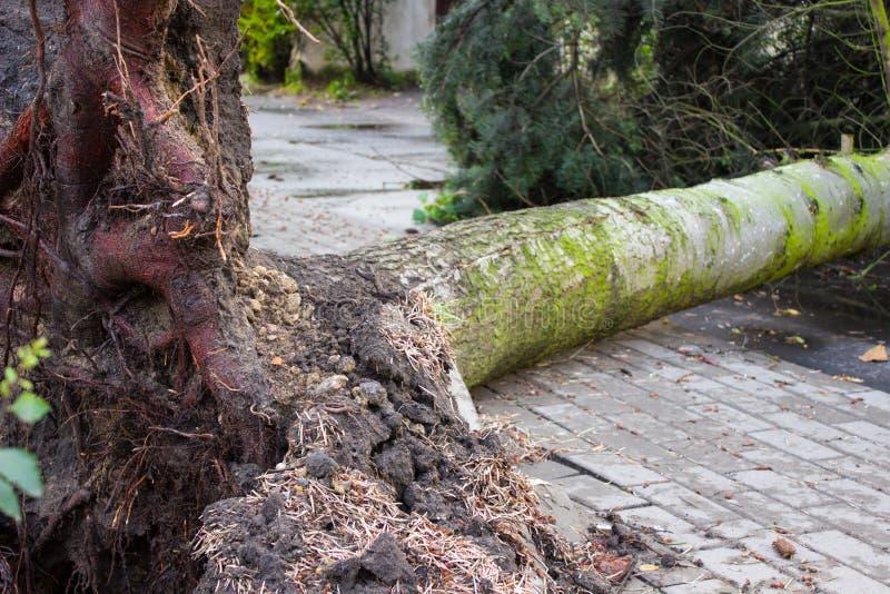 Ontwortelde boom na onweer, gevaarlijk weerconcept royalty-vrije stock fotografie