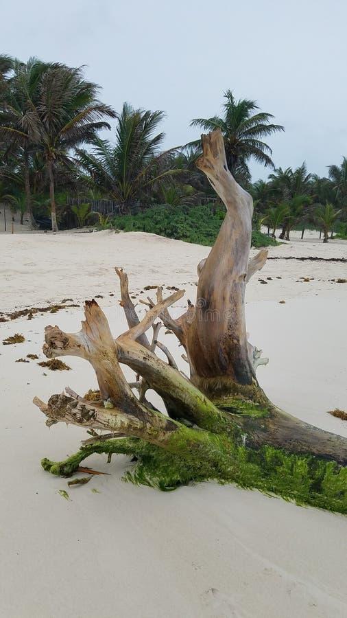 Ontwortelde boom op het strand Tulum, Mexico royalty-vrije stock foto