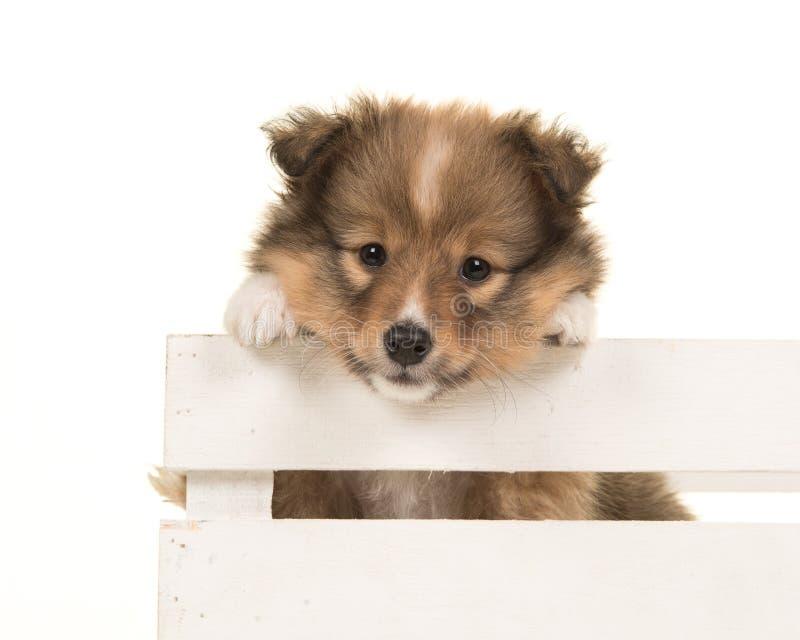 Onver de suspensão do cachorrinho bonito do cão pastor de Shetland a beira de um branco imagens de stock royalty free