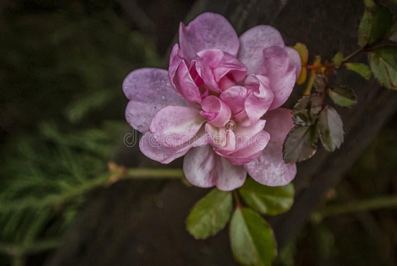 Onvolmaakte Roze nam toe royalty-vrije stock afbeeldingen