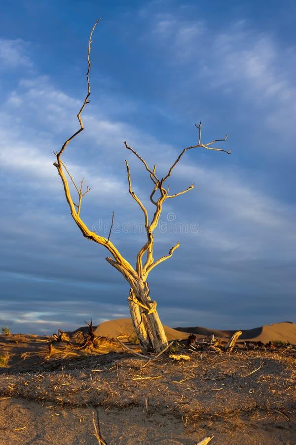 Onvruchtbare boom in gouden licht. stock afbeeldingen