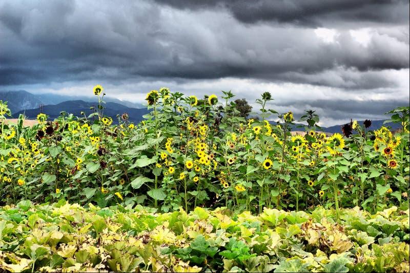 Onweer, Wind en Zonnebloemen stock foto