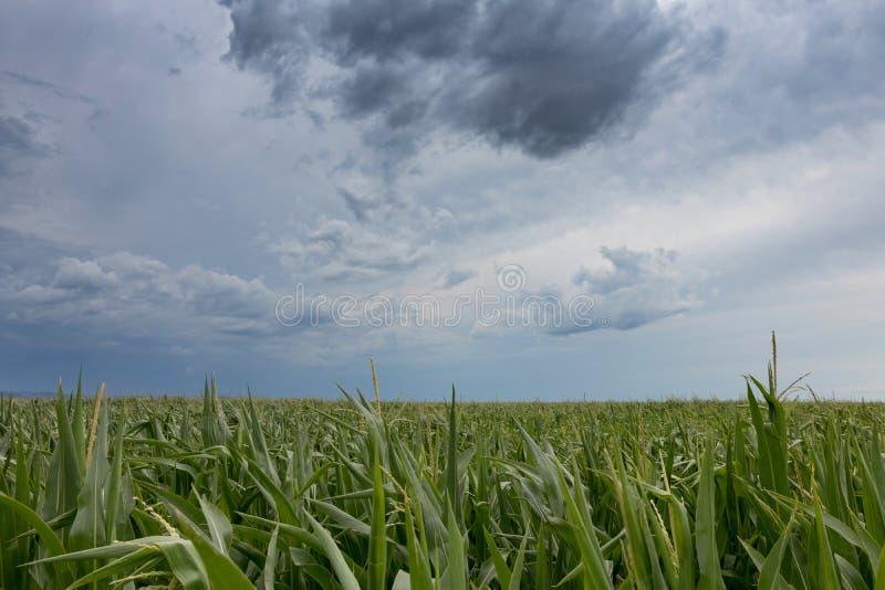 Onweerswolken over graangebieden royalty-vrije stock foto's