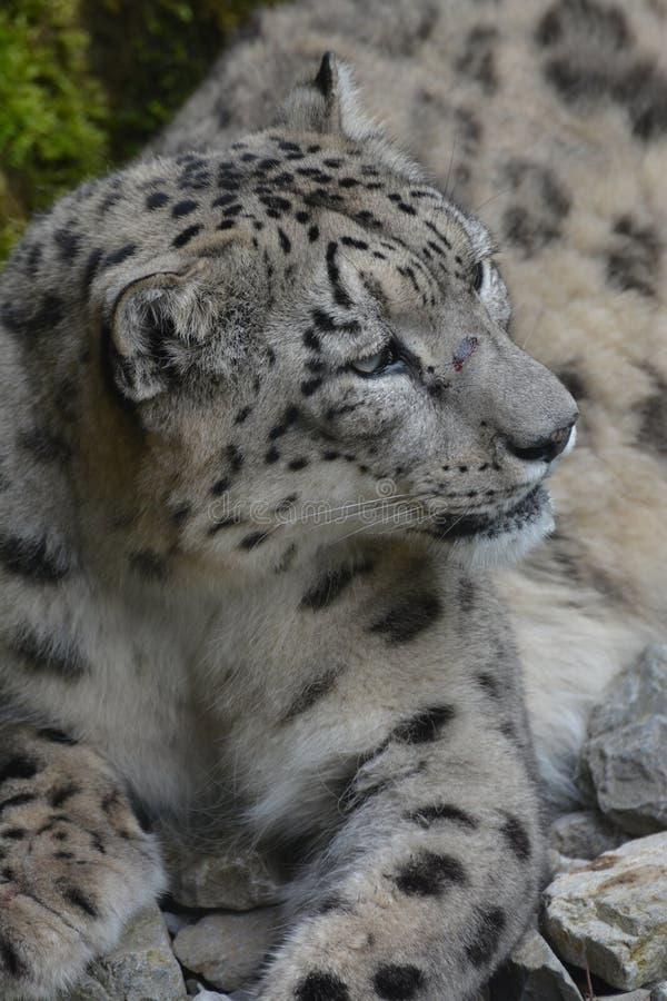Download Onza/Panthera Uncia foto de archivo. Imagen de animal - 42440032