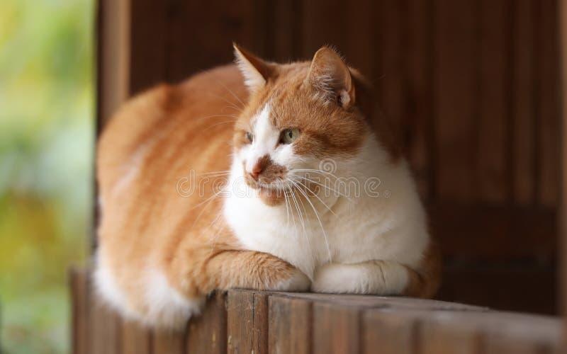 Onze Dikkieboy-kat houdt horloge over zijn terrein stock afbeeldingen