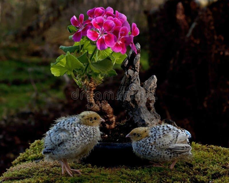 Onze jours cailles, cognassier du Japon de Coturnix bonsaïs proches d'un géranium fleurissant images libres de droits