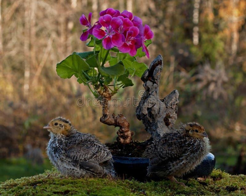 Onze jours cailles, cognassier du Japon de Coturnix bonsaïs proches d'un géranium fleurissant photo stock