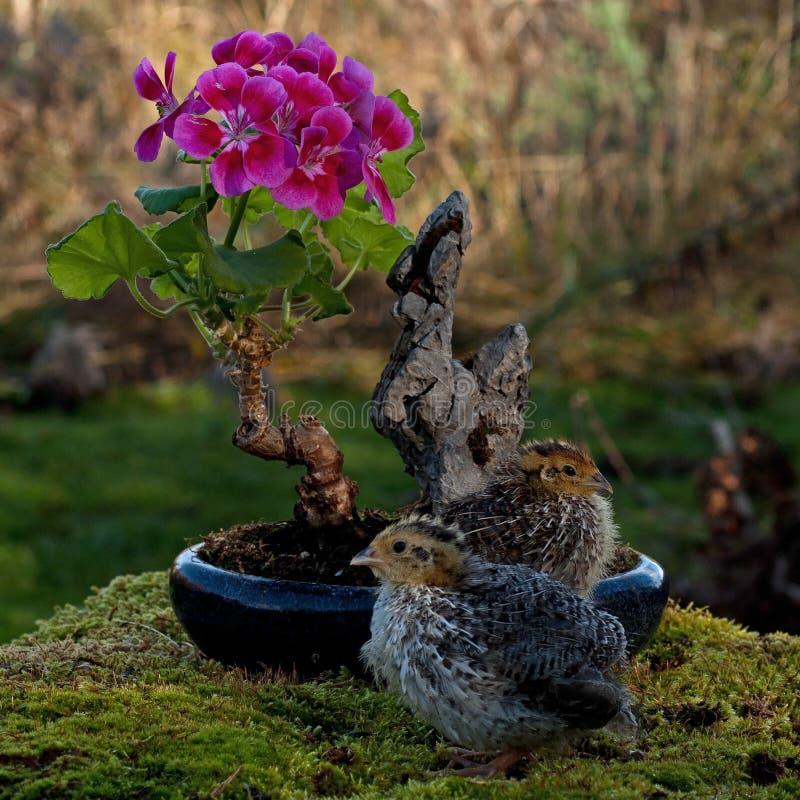 Onze jours cailles, cognassier du Japon de Coturnix bonsaïs proches d'un géranium fleurissant photo libre de droits