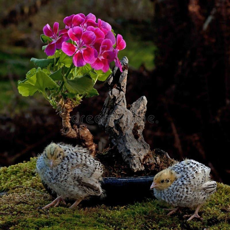 Onze jours cailles, cognassier du Japon de Coturnix bonsaïs proches d'un géranium fleurissant images stock