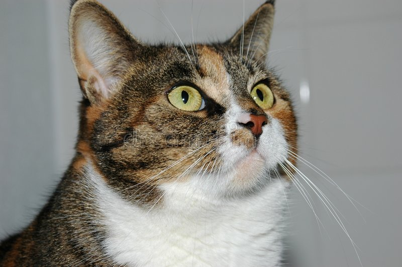 Onze kat, Mozes royalty-vrije stock fotografie