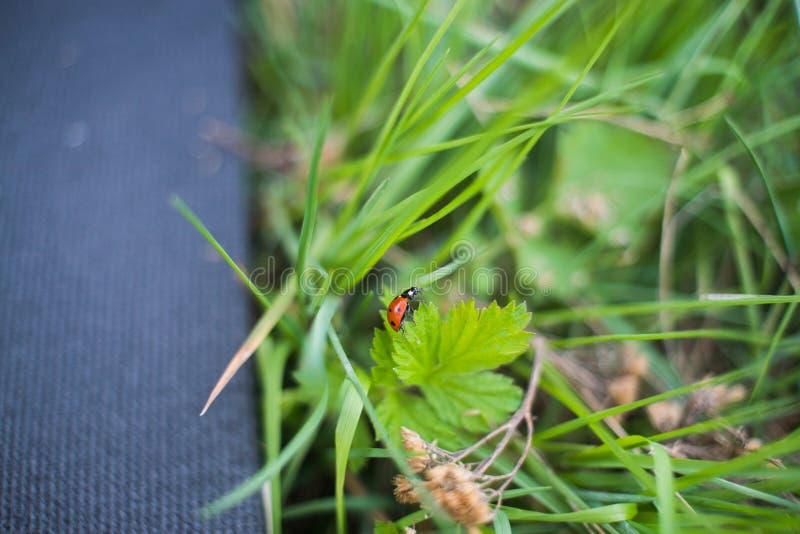 Onzelieveheersbeestje die op het gras kruipen royalty-vrije stock foto's