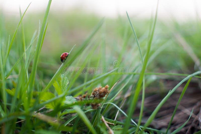 Onzelieveheersbeestje die op het gras kruipen stock afbeeldingen