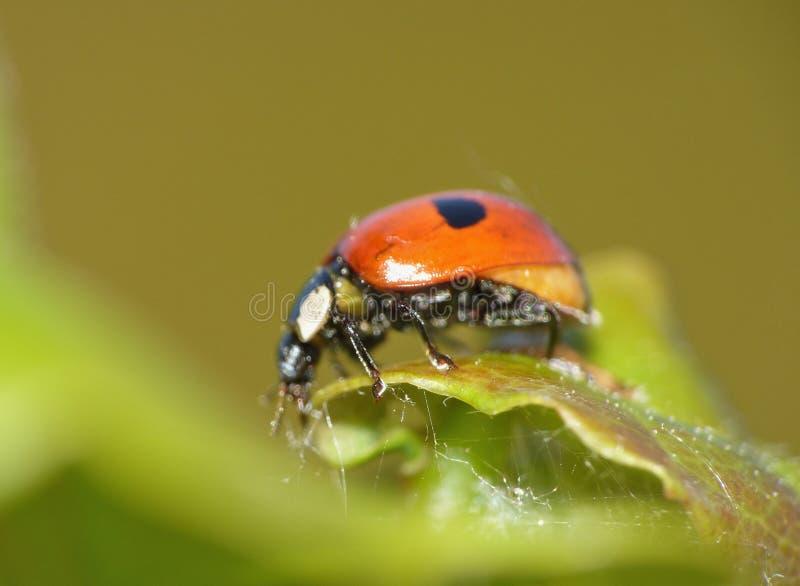 Onzelieveheersbeestje/Lieveheersbeestje op Groen Blad - Macro omhoog Geschoten Dicht royalty-vrije stock afbeeldingen
