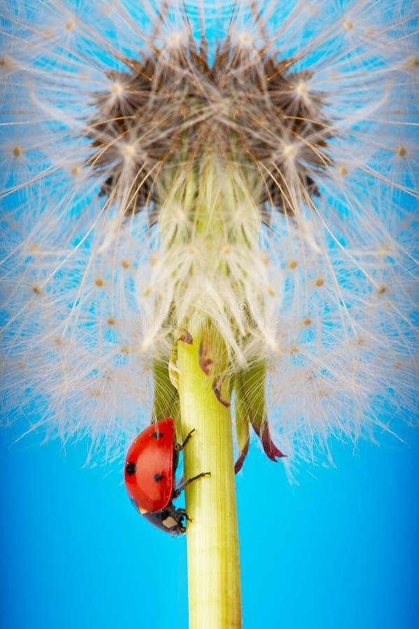 Onzelieveheersbeestje op blowball stock foto's